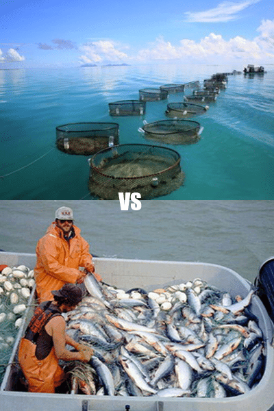 Eating farmed fish vs wild caught holistic wellbeing expert for Farmed fish vs wild