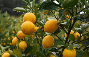 Winter Wellness Recipe W/ Meyer lemons